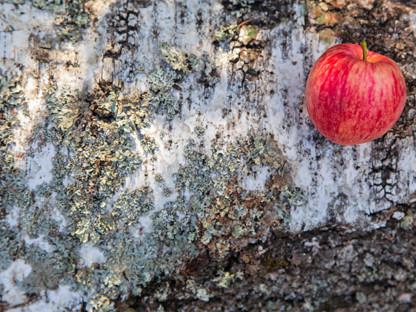 Alergie krzyżowe, czerwone jabłko na pniu brzozy, Aleric spray lek na alergię